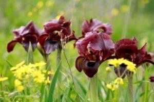 Coastal Iris At Nahal Poleg Nature Reserve In Netanya